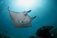 Indonesia, Bali, Nusa Penida, Reef manta ray, Manta alfredi - ZC00591
