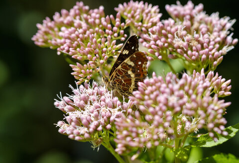 Germany, Bavaria, map butterfly, Araschnia levana, on Hemp Agrimony, Eupatorium cannabinum - SIEF07605