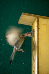 Sparrow feeding young bird - BIGF00065