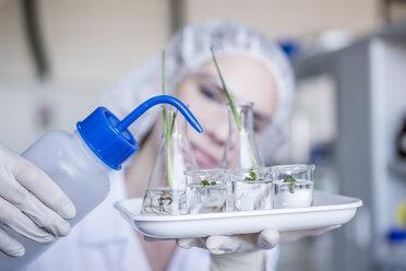 Scientist in lab watering plant seedlings in beakers - WESTF23760