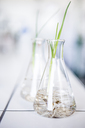 Plant seedlings in beakers in lab - WESTF23769