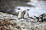 South Africa, Cape Town, Robben Island, Penguins on the rocks - ZEF14850