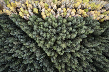 Great Britain, Scotland, pine forest - MJOF01448