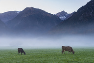 Germany, Bavaria, Allgaeu, cattles on an alpine meadow near Oberstdorf, morning fog - WGF01138