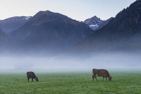Germany, Bavaria, Allgaeu, cattles on an alpine meadow near Oberstdorf, morning fog - WGF01138