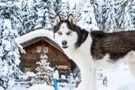Austria, Altenmarkt-Zauchensee, dog in snow with woman at hut in background - HHF05529