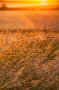 Great Britain, Scotland, East Lothian, wild grasses backlit by the sun at sunset - SMAF00871
