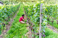 Germany, Gengenbach, man in vineyard looking at grapes from the vine - KIJF01723