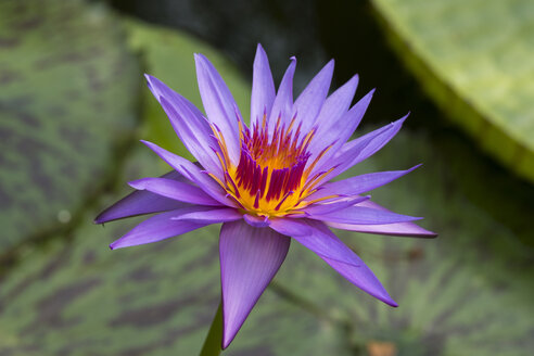 Water Lily , Nymphaea hybrid August Koch - SIEF07626