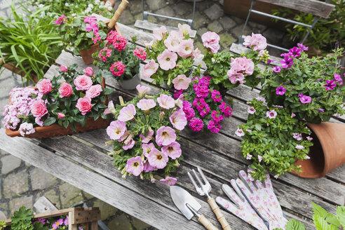 Gardening, planting of summer flowers, petunia, verbena, gerania, Impatiens walleriana, rose, Rosaceae - GWF05322