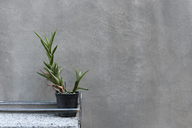 Cactus plant against grey wall - IGGF00227