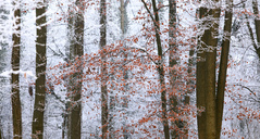 Germany, winter forest, autumn leaves - JTF00862