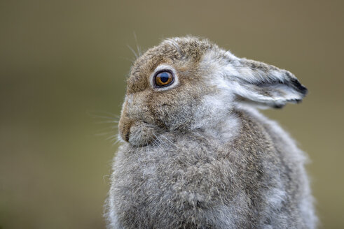 UK, Scotland, portrait of Mountain Hare - MJOF01453