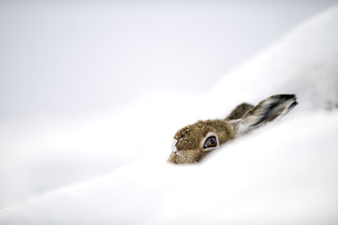 UK, Scotland, Mountain Hare hiding in snow - MJOF01455
