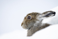 UK, Scotland, portrait of Mountain Hare in snow - MJOF01458