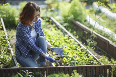 Young woman planting strawberry plant in garden - VPIF00276