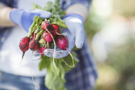 Woman holding bunch of radishes in a garden - VPIF00279