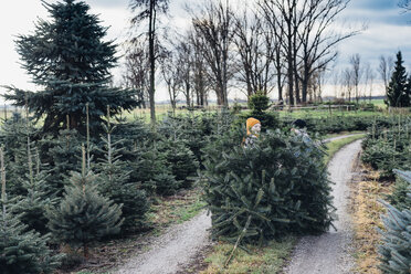 Brother and sister choosing Christmas tree on a farm, pulling it home - MJF02205