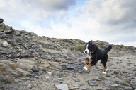 Spain, Menorca, Portrait of a bernese mountain dog running fast outdoors - IGGF00285
