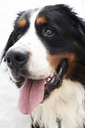 Portrait of a bernese mountain dog - IGGF00311