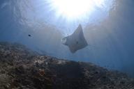 Indonesia, Bali, Nusa Lembongan, Reef manta ray, Manta alfredi - ZCF00593