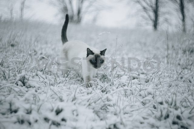 Siamese cat walking on snowy meadow - KMKF00094