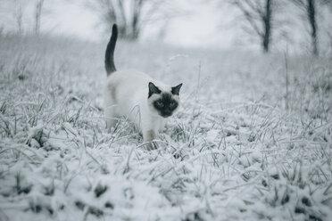 Siamese cat walking on snowy meadow - KMKF00094