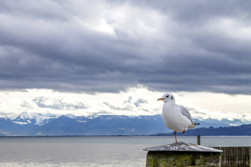 Seagull standing on one leg - PUF01013