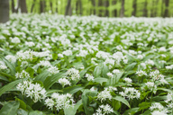 Germany, North Rhine-Westaphalia, Eifel, wild garlic blossom in beech forest - GWF05374