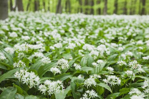 Germany, North Rhine-Westaphalia, Eifel, wild garlic blossom in beech forest - GWF05374