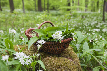 Germany, North Rhine-Westphalia, Eifel, wild garlic, Allium Ursinum, in wicker basket - GWF05377