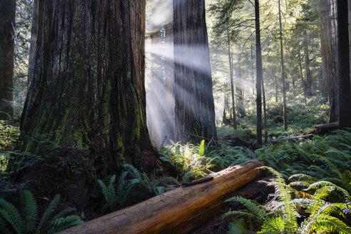 USA, California, Crescent City, Jedediah Smith Redwood State Park, redwood trees, sunbeams - STCF00382