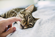 Hand of men stroking tabby cat, lying in bed - RAEF01963