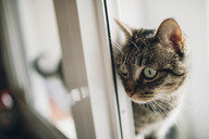 Tabby cat watching something - RAEF01965
