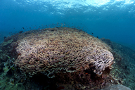 Indonesia, Bali, Nusa Lembonga, Nusa Penida, Cup corals, Turbinaria conspicua - ZCF00600