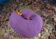 Indonesia, Bali, Nusa Lembonga, Nusa Penida, False percula clownfishes, Amphiprion ocellaris, and magnificent sea anemone, - ZCF00603