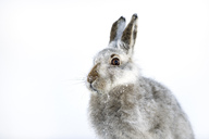 UK, Scotland, portrait of Mountain Hare in snow - MJOF01461