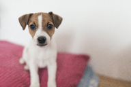 Jack Russel Terrier, female dog - KMKF00132