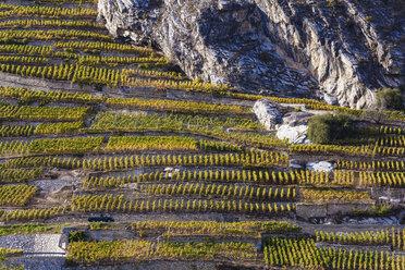 Switzerland, Valais, Ardon, vineyards at hillside - WDF04306