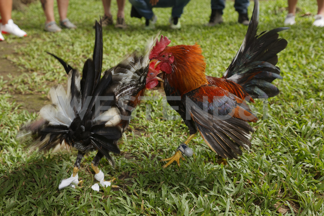 Carribean, Dominican Republic, two fighting gamecocks - GFF01054