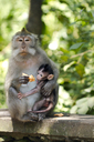 Indonesia, Bali, Sacred Monkey Forest, long tailed macaque with young animal - ZCF00608