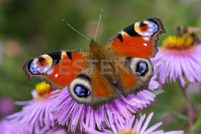 Peacock butterfly on blossom of an aster - SIEF07663 - Martin Siepmann/Westend61