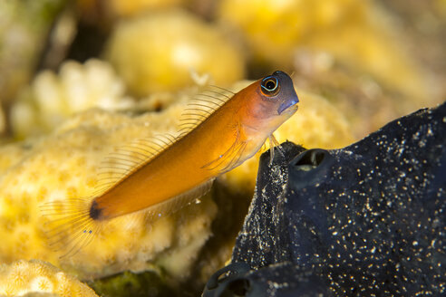 Egypt, Red Sea, Hurghada, aron's blenny - YRF00174