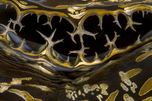 Egypt, Red Sea, Hurghada, squamose giant clam, close-up - YRF00183