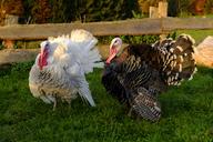 Two Domestic turkeys on a meadow - LBF01732