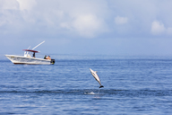 Mauritius, Indian Ocean, spinner dolphin jumping, Stenella longirostris - FOF09735