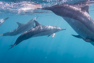 Mauritius, Indian Ocean, bottlenose dolphins, Tursiops truncatus - FOF09738