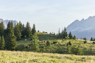 Austria, Tyrol, Mieming Plateau, cows on alpine meadow - CVF00063