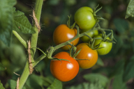 Tomatoes growing on tomato plant - TCF05451