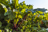 Red chard growing on field - TCF05457
